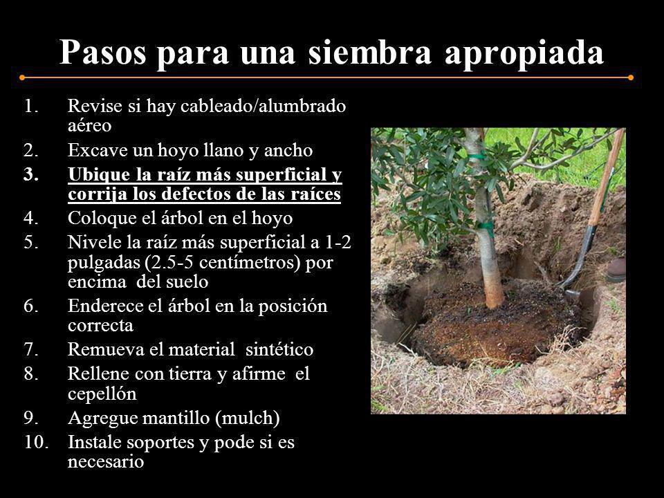 Ubique la raíz más superficial El punto donde se une la raíz más superficial con el tronco del árbol no debe estar a más de 2 pulgadas (5 centímetros) de profundidad en el cepellón.