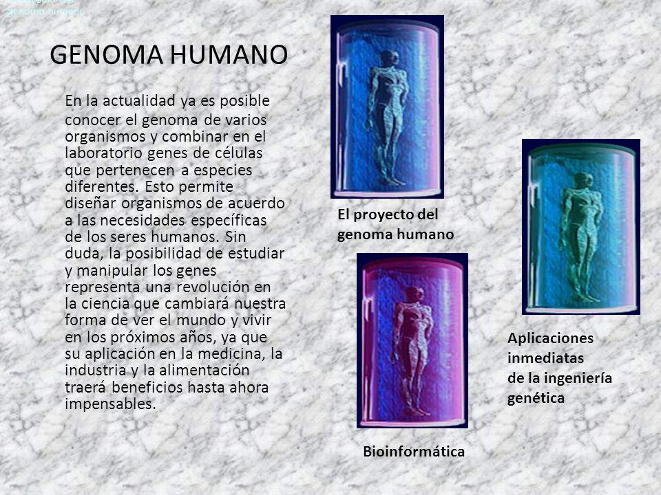 GENOMA HUMANO En la actualidad ya es posible conocer el genoma de varios organismos y combinar en el laboratorio genes de células que pertenecen a esp