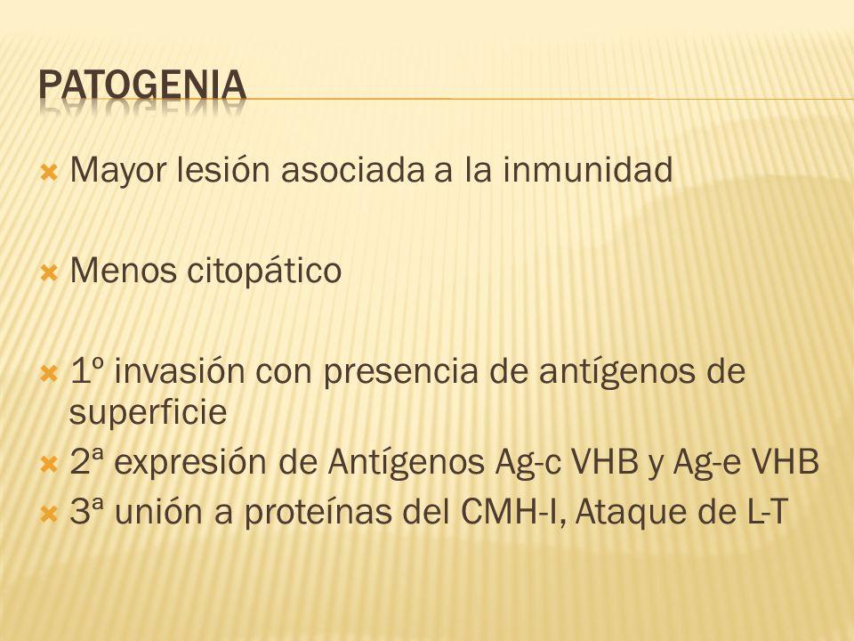 Mayor lesión asociada a la inmunidad Menos citopático 1º invasión con presencia de antígenos de superficie 2ª expresión de Antígenos Ag-c VHB y Ag-e V
