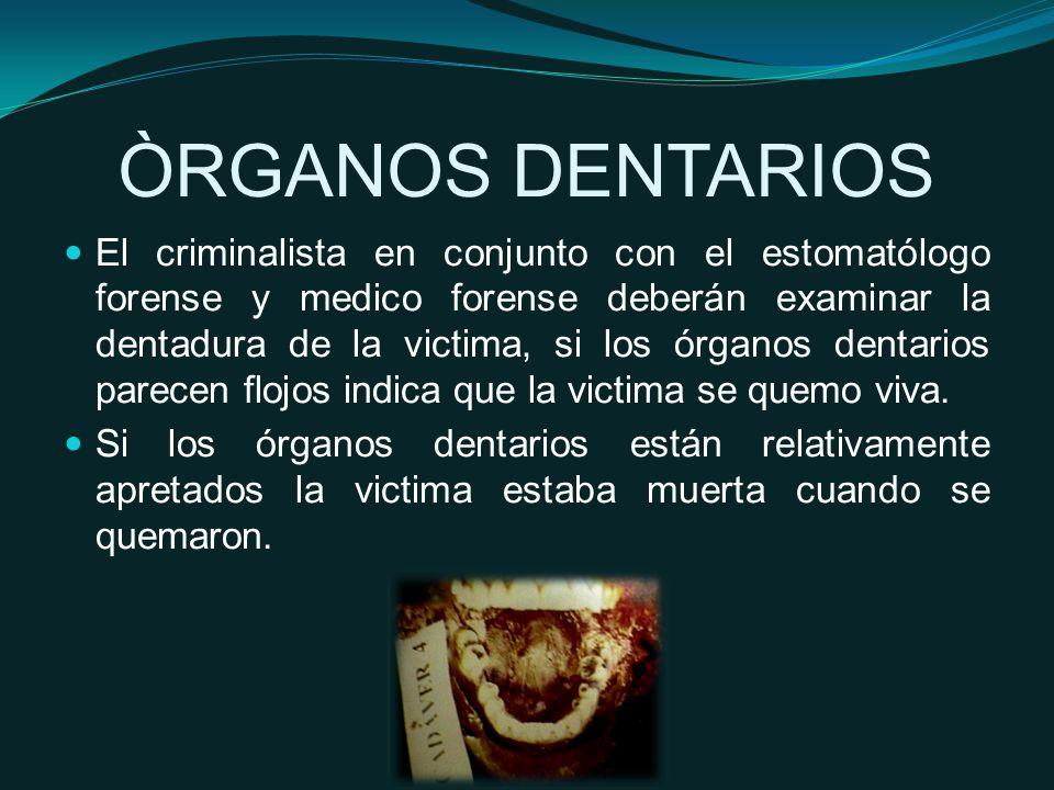 ÒRGANOS DENTARIOS El criminalista en conjunto con el estomatólogo forense y medico forense deberán examinar la dentadura de la victima, si los órganos dentarios parecen flojos indica que la victima se quemo viva.