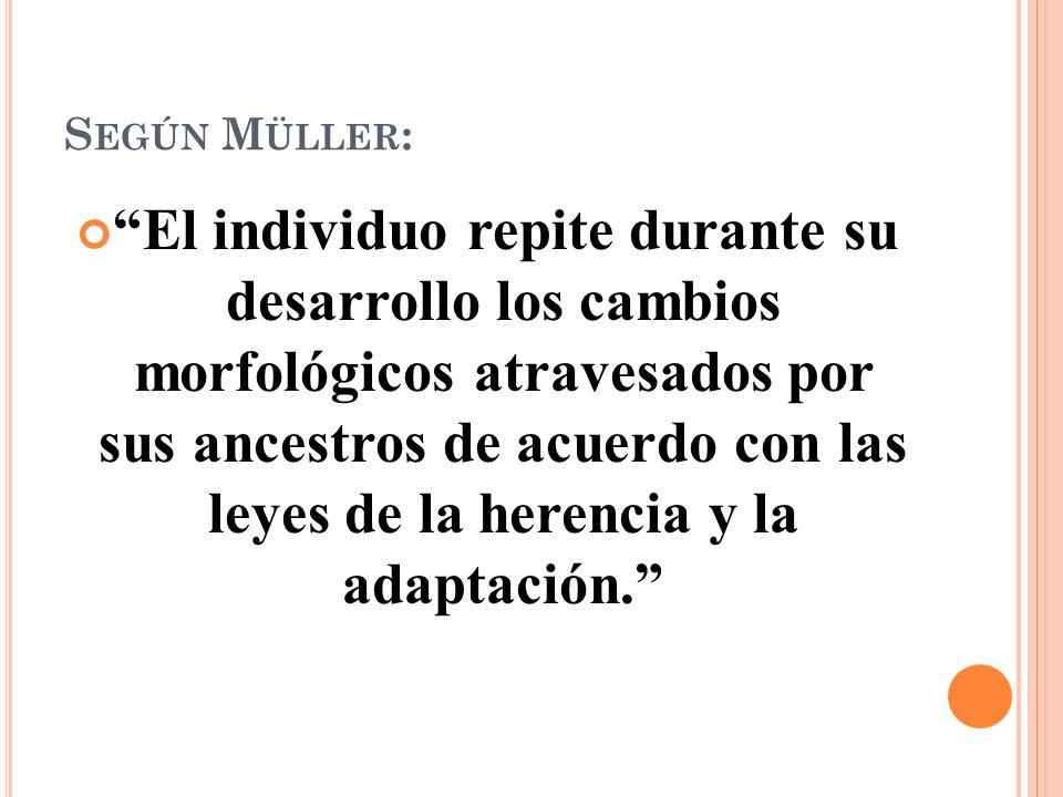 S EGÚN M ÜLLER : El individuo repite durante su desarrollo los cambios morfológicos atravesados por sus ancestros de acuerdo con las leyes de la herencia y la adaptación.