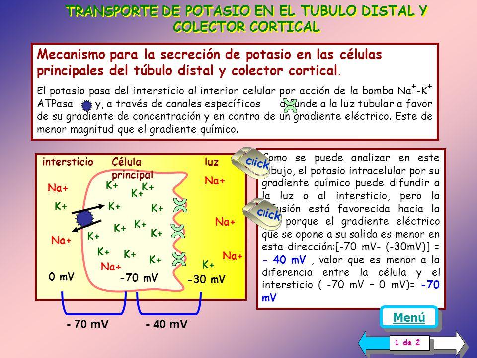 ASA DE HENLE El principal mecanismo por el cual el potasio es reabsorbido en el asa de Henle, es debido al cotransportador Na + /K + /2Cl -, ubicado e