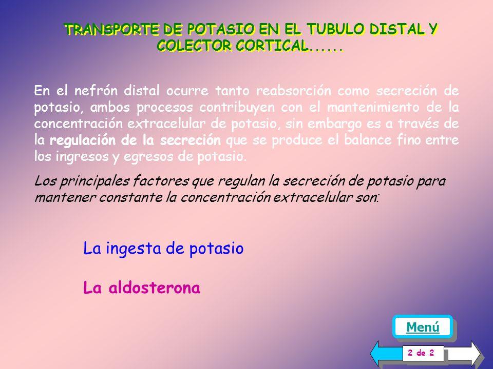 TRANSPORTE DE POTASIO EN EL TUBULO DISTAL Y COLECTOR CORTICAL Como se puede analizar en este dibujo, el potasio intracelular por su gradiente químico puede difundir a la luz o al intersticio, pero la difusión está favorecida hacia la luz, porque el gradiente eléctrico que se opone a su salida es menor en esta dirección:[-70 mV- (-30mV)] = - 40 mV, valor que es menor a la diferencia entre la célula y el intersticio ( -70 mV – 0 mV)= -70 mV Mecanismo para la secreción de potasio en las células principales del túbulo distal y colector cortical.