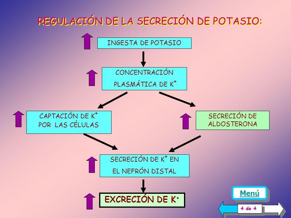 LA ALDOSTERONA: ACCIONES La aldosterona, además de aumentar la reabsorción de sodio, aumenta la secreción de potasio en el nefrón distal a través de l