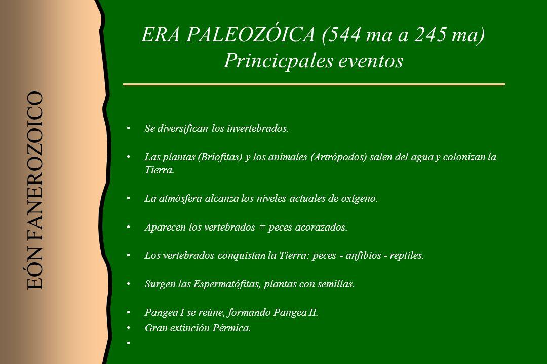 ERA PALEOZÓICA (544 ma a 245 ma) Princicpales eventos Se diversifican los invertebrados. Las plantas (Briofitas) y los animales (Artrópodos) salen del