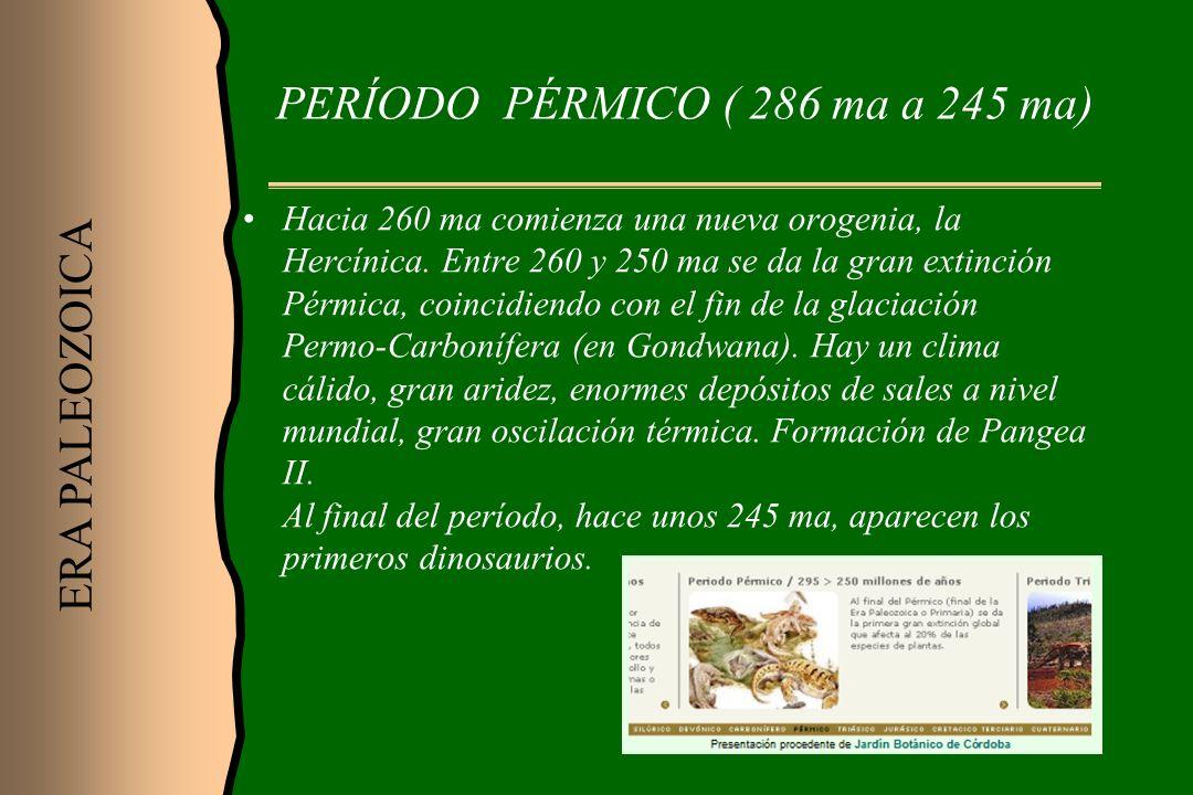 PERÍODO PÉRMICO ( 286 ma a 245 ma) Hacia 260 ma comienza una nueva orogenia, la Hercínica. Entre 260 y 250 ma se da la gran extinción Pérmica, coincid