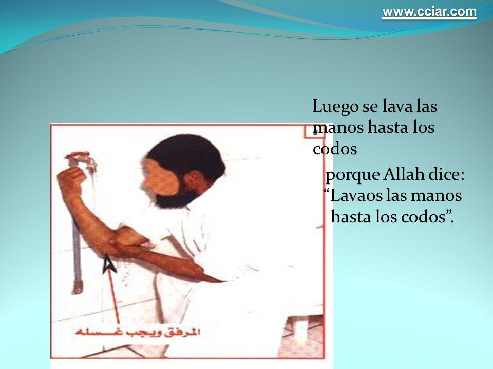 Luego se lava las manos hasta los codos porque Allah dice: Lavaos las manos hasta los codos.