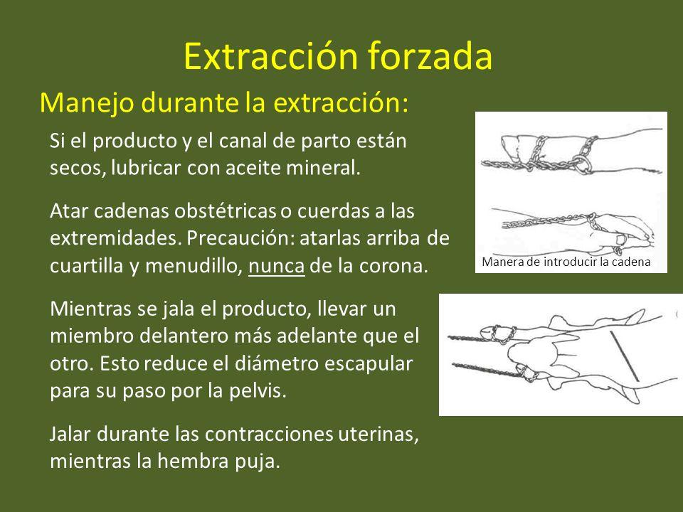 Extracción forzada Manejo durante la extracción: Atar cadenas obstétricas o cuerdas a las extremidades. Precaución: atarlas arriba de cuartilla y menu