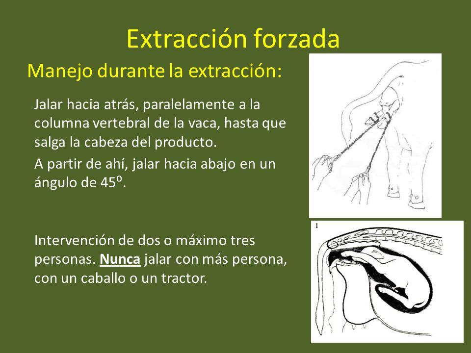 Extracción forzada Manejo durante la extracción: Intervención de dos o máximo tres personas. Nunca jalar con más persona, con un caballo o un tractor.