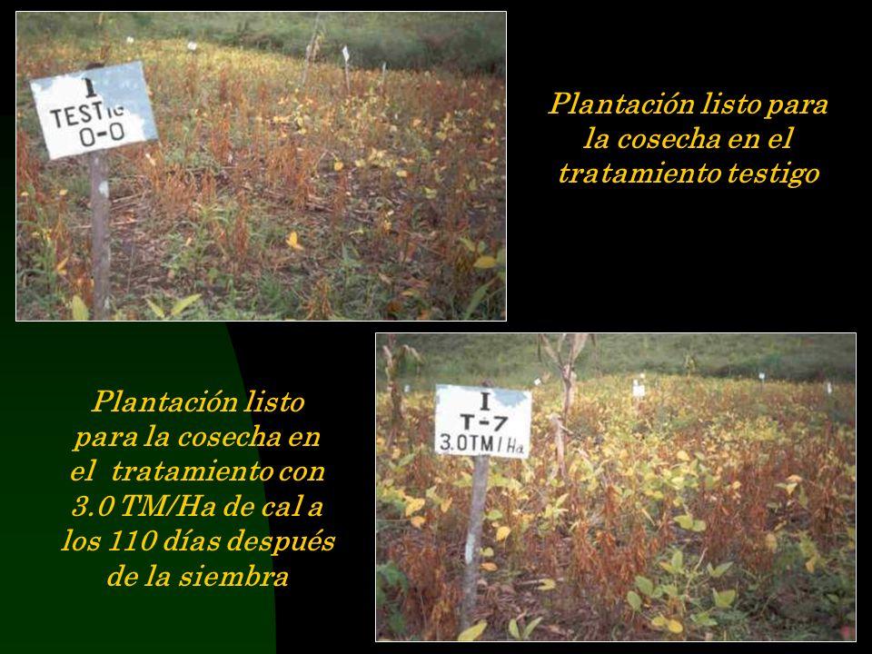 Estado de las plantas en el tratamiento testigo, 20 dias después de la siembra Estado de las plantas en el tratamiento con 4.0 TM/Ha de cal, 40 dias d