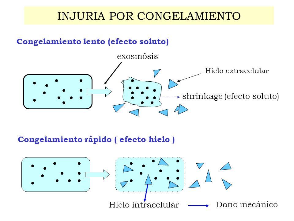 INJURIA POR CONGELAMIENTO Congelamiento rápido ( efecto hielo ) Hielo intracelular Daño mecánico Hielo extracelular Congelamiento lento (efecto soluto