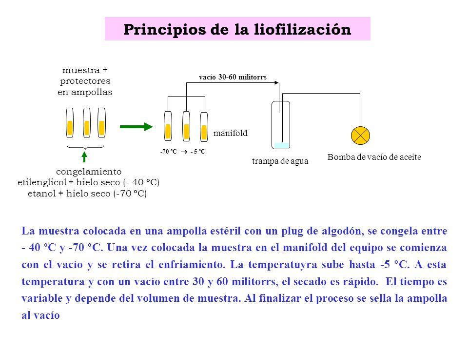 Principios de la liofilización muestra + protectores en ampollas congelamiento etilenglicol + hielo seco (- 40 ºC) etanol + hielo seco (-70 ºC) Bomba