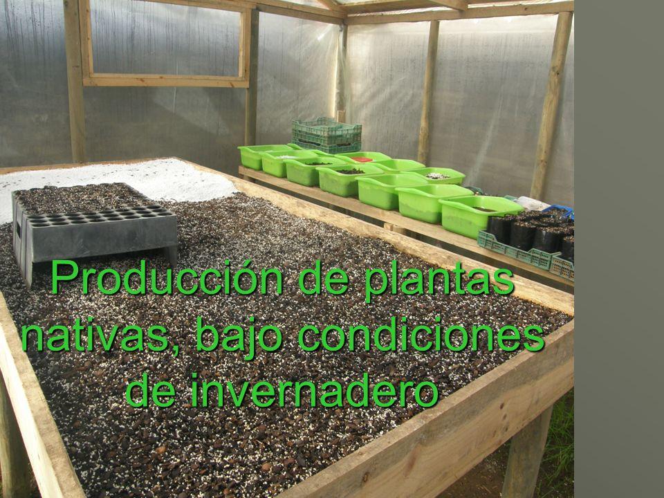 Producción de plantas nativas, bajo condiciones de invernadero