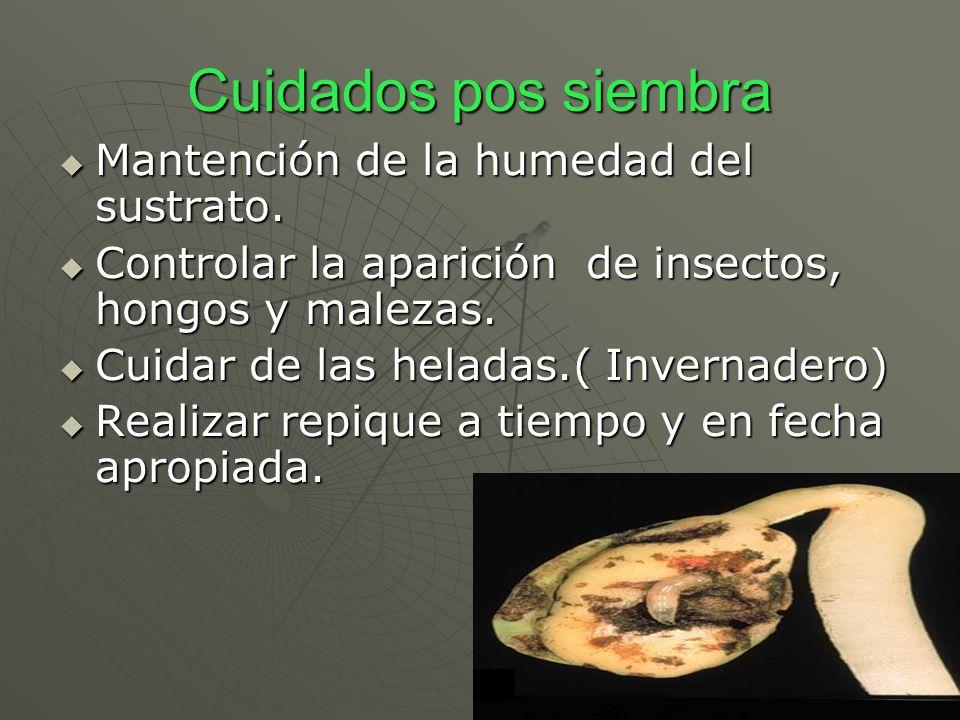 Cuidados pos siembra Mantención de la humedad del sustrato. Mantención de la humedad del sustrato. Controlar la aparición de insectos, hongos y maleza