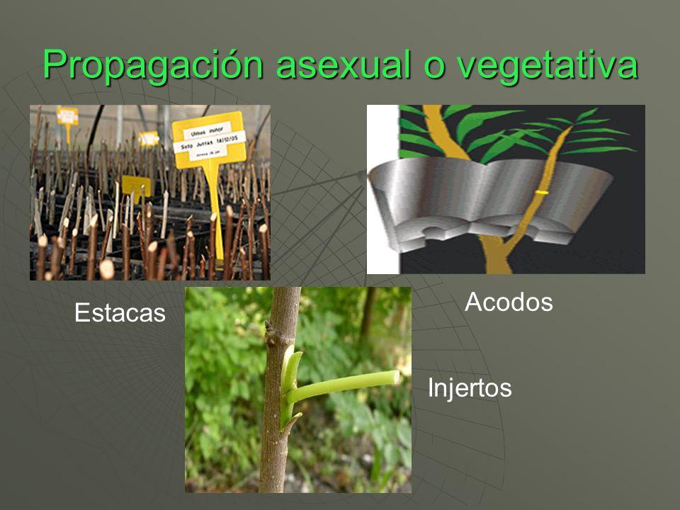 Propagación asexual o vegetativa Estacas Acodos Injertos
