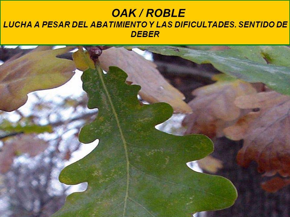 OAK / ROBLE LUCHA A PESAR DEL ABATIMIENTO Y LAS DIFICULTADES. SENTIDO DE DEBER