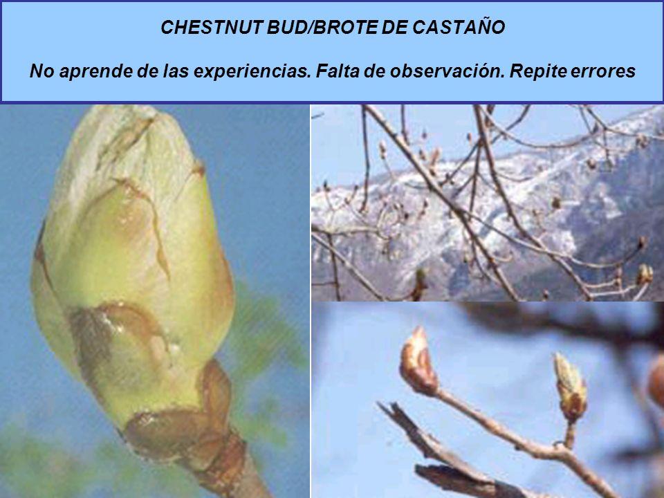 CHESTNUT BUD/BROTE DE CASTAÑO No aprende de las experiencias. Falta de observación. Repite errores