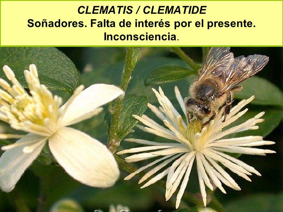 CLEMATIS / CLEMATIDE Soñadores. Falta de interés por el presente. Inconsciencia.