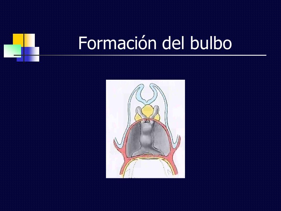 Formación del bulbo