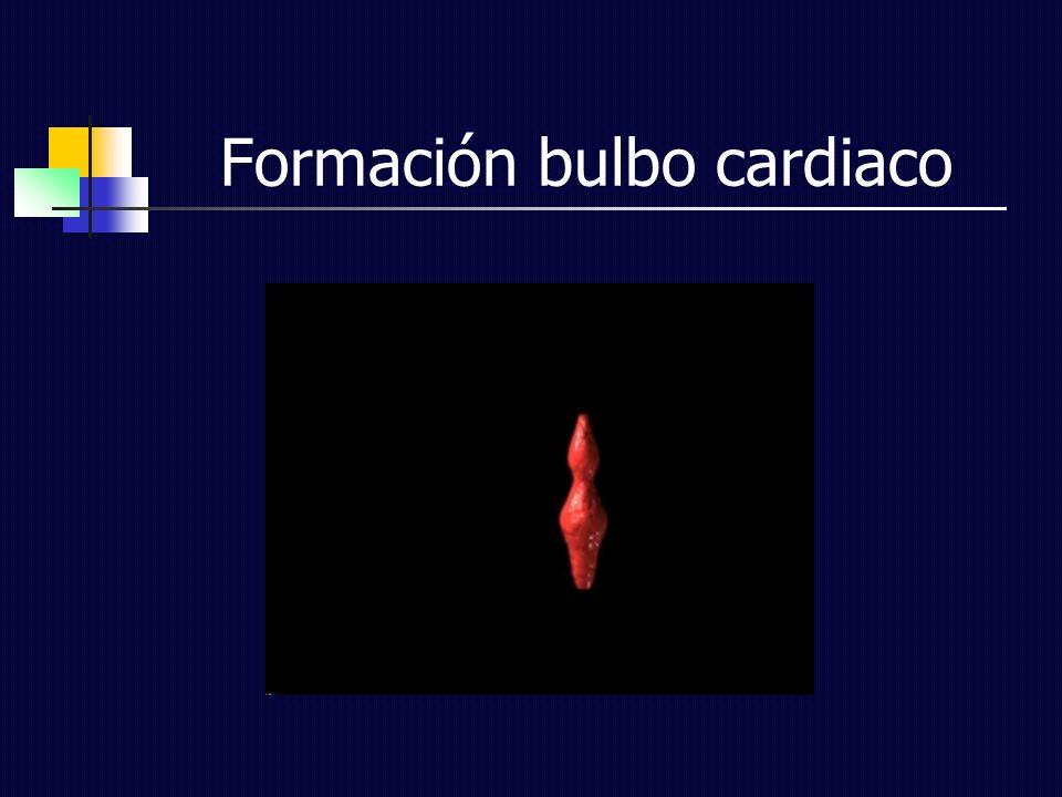 Formación bulbo cardiaco