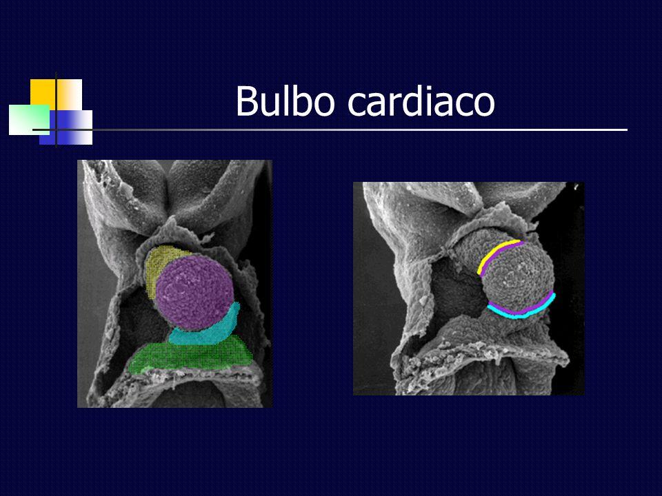 Bulbo cardiaco