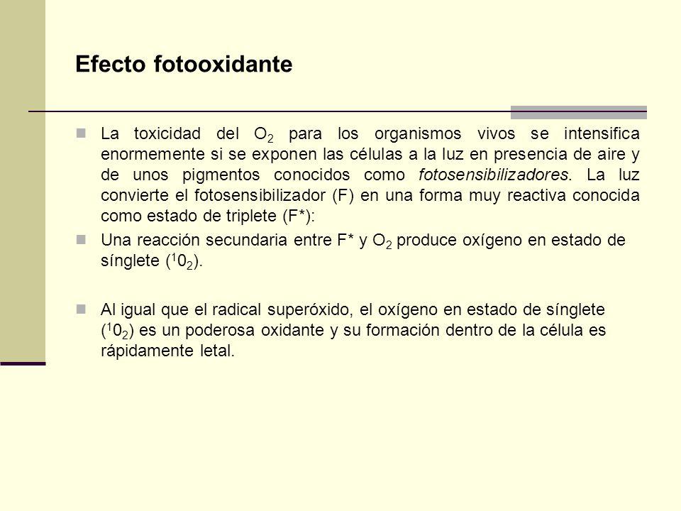 Efecto fotooxidante La toxicidad del O 2 para los organismos vivos se intensifica enormemente si se exponen las células a la luz en presencia de aire