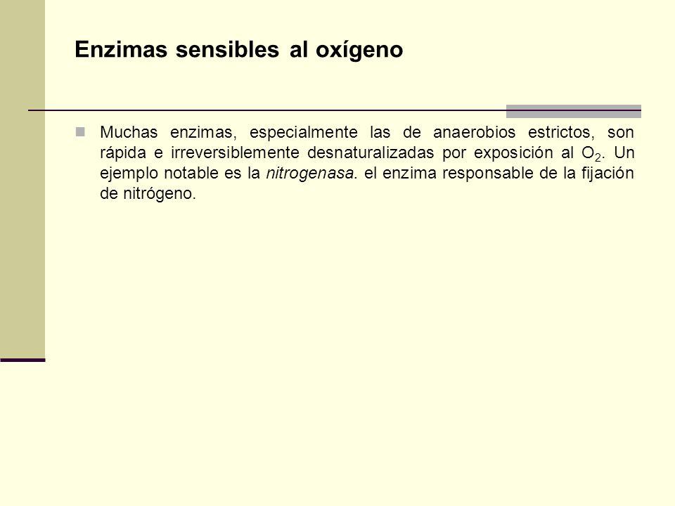 Enzimas sensibles al oxígeno Muchas enzimas, especialmente las de anaerobios estrictos, son rápida e irreversiblemente desnaturalizadas por exposición