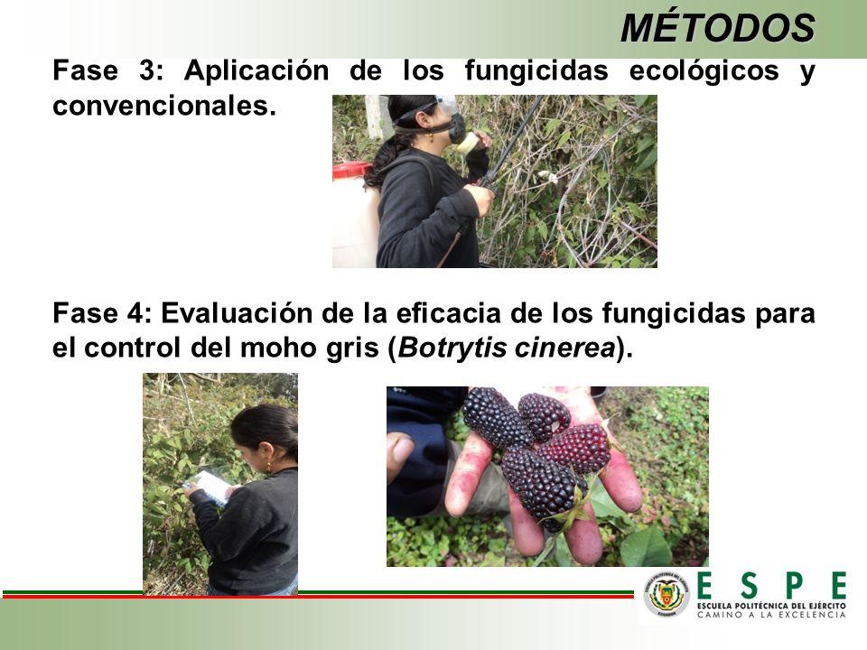 MÉTODOS Fase 3: Aplicación de los fungicidas ecológicos y convencionales.