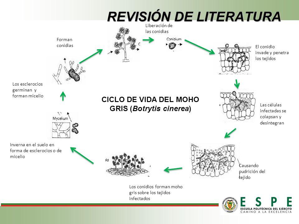 Inverna en el suelo en forma de esclerocios o de micelio Los esclerocios germinan y forman micelio Forman conidias Liberación de las conidias Las células infectadas se colapsan y desintegran Causando pudrición del tejido El conidio invade y penetra los tejidos CICLO DE VIDA DEL MOHO GRIS (Botrytis cinerea) Los conidios forman moho gris sobre los tejidos infectados REVISIÓN DE LITERATURA