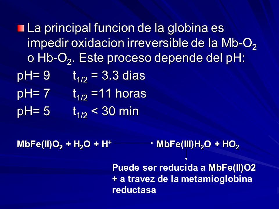 La principal funcion de la globina es impedir oxidacion irreversible de la Mb-O 2 o Hb-O 2. Este proceso depende del pH: pH= 9 t 1/2 = 3.3 dias pH= 7