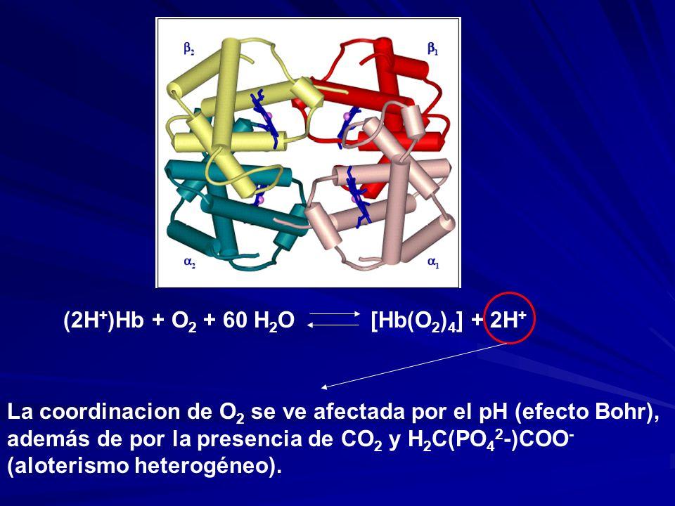 (2H + )Hb + O 2 + 60 H 2 O [Hb(O 2 ) 4 ] + 2H + La coordinacion de O 2 se ve afectada por el pH (efecto Bohr), además de por la presencia de CO 2 y H 2 C(PO 4 2 -)COO - (aloterismo heterogéneo).