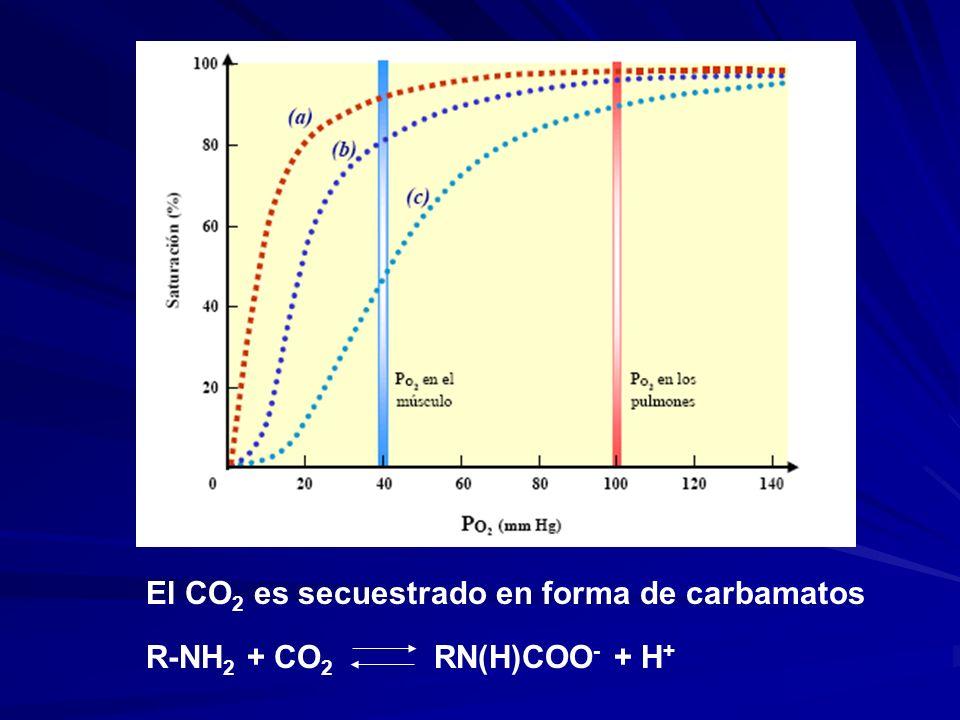 El CO 2 es secuestrado en forma de carbamatos R-NH 2 + CO 2 RN(H)COO - + H +