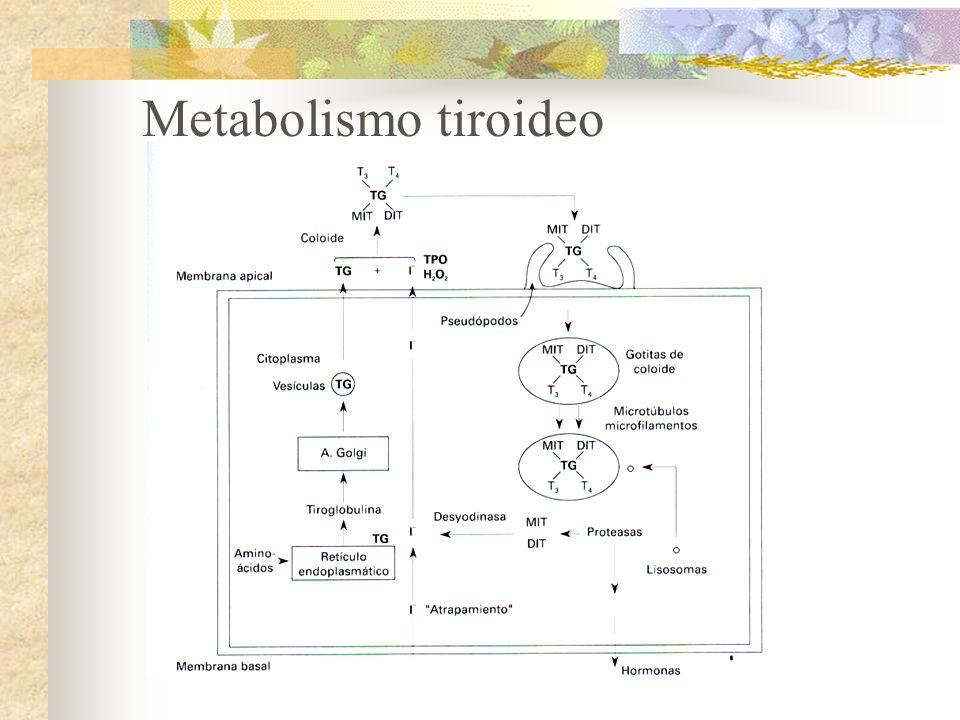 El yodo inorgánico entra las células foliculares de la glándula tiroides y se transforma en las hormonas metabólicamente activas tetraiodotironina (T 4 ) y triodotironina (T 3 ).