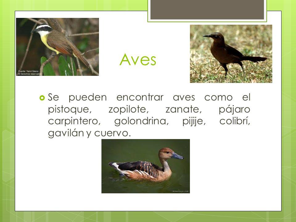 Aves Se pueden encontrar aves como el pistoque, zopilote, zanate, pájaro carpintero, golondrina, pijije, colibrí, gavilán y cuervo.