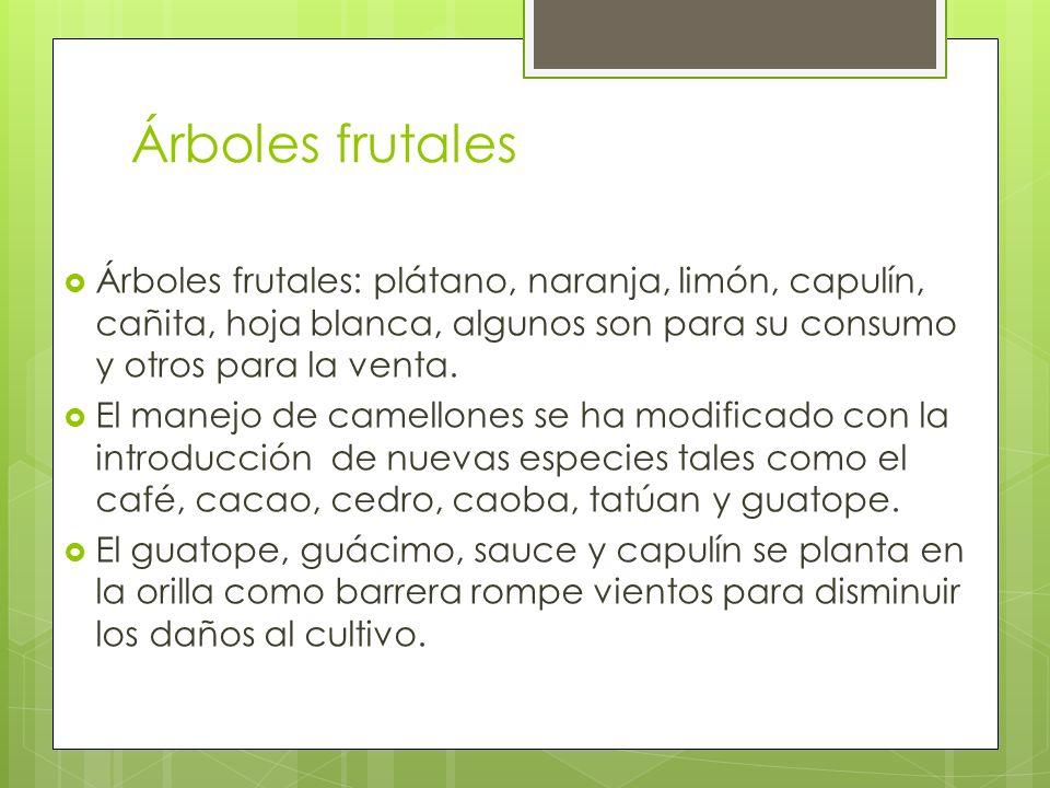 Árboles frutales Árboles frutales: plátano, naranja, limón, capulín, cañita, hoja blanca, algunos son para su consumo y otros para la venta. El manejo