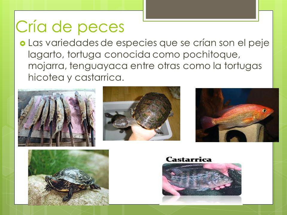 Cría de peces Las variedades de especies que se crían son el peje lagarto, tortuga conocida como pochitoque, mojarra, tenguayaca entre otras como la t
