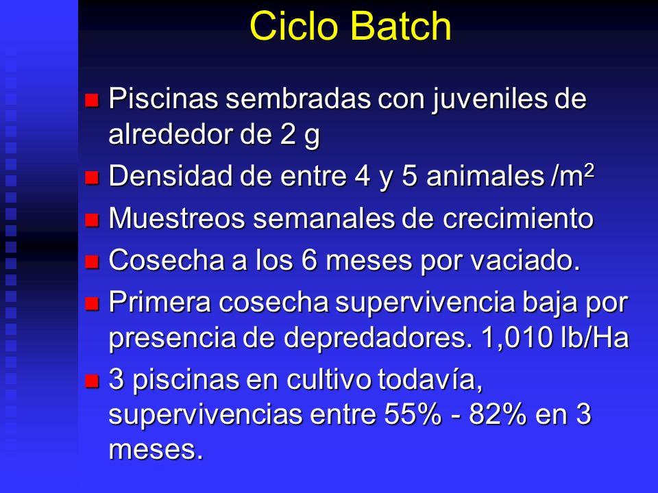 Ciclo Batch Piscinas sembradas con juveniles de alrededor de 2 g Piscinas sembradas con juveniles de alrededor de 2 g Densidad de entre 4 y 5 animales