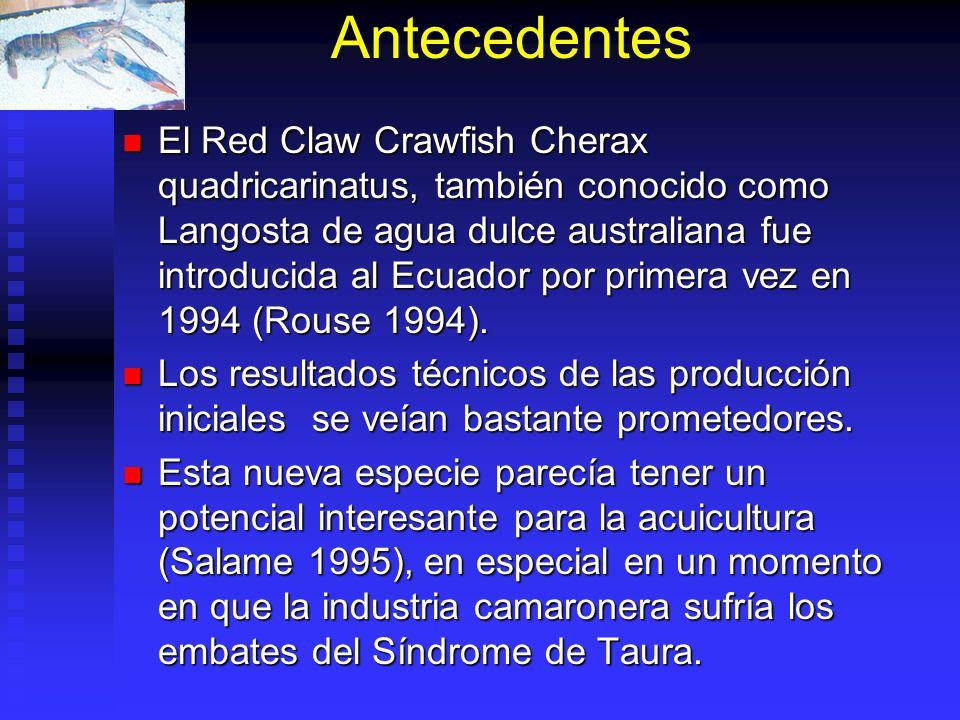 Antecedentes El Red Claw Crawfish Cherax quadricarinatus, también conocido como Langosta de agua dulce australiana fue introducida al Ecuador por prim