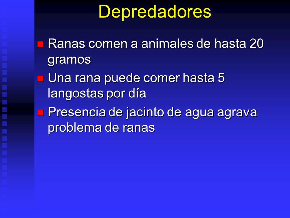Depredadores Ranas comen a animales de hasta 20 gramos Ranas comen a animales de hasta 20 gramos Una rana puede comer hasta 5 langostas por día Una ra