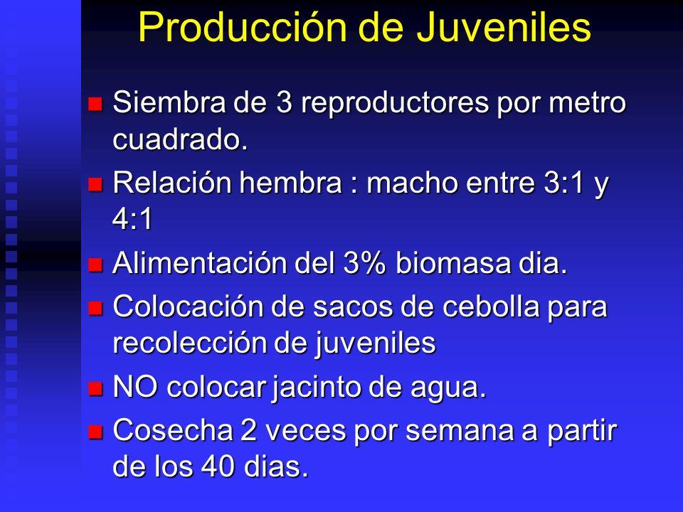 Producción de Juveniles Siembra de 3 reproductores por metro cuadrado. Siembra de 3 reproductores por metro cuadrado. Relación hembra : macho entre 3: