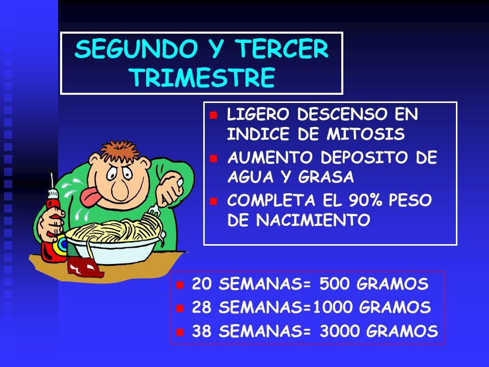 SEGUNDO Y TERCER TRIMESTRE LIGERO DESCENSO EN INDICE DE MITOSIS AUMENTO DEPOSITO DE AGUA Y GRASA COMPLETA EL 90% PESO DE NACIMIENTO 20 SEMANAS= 500 GRAMOS 28 SEMANAS=1000 GRAMOS 38 SEMANAS= 3000 GRAMOS