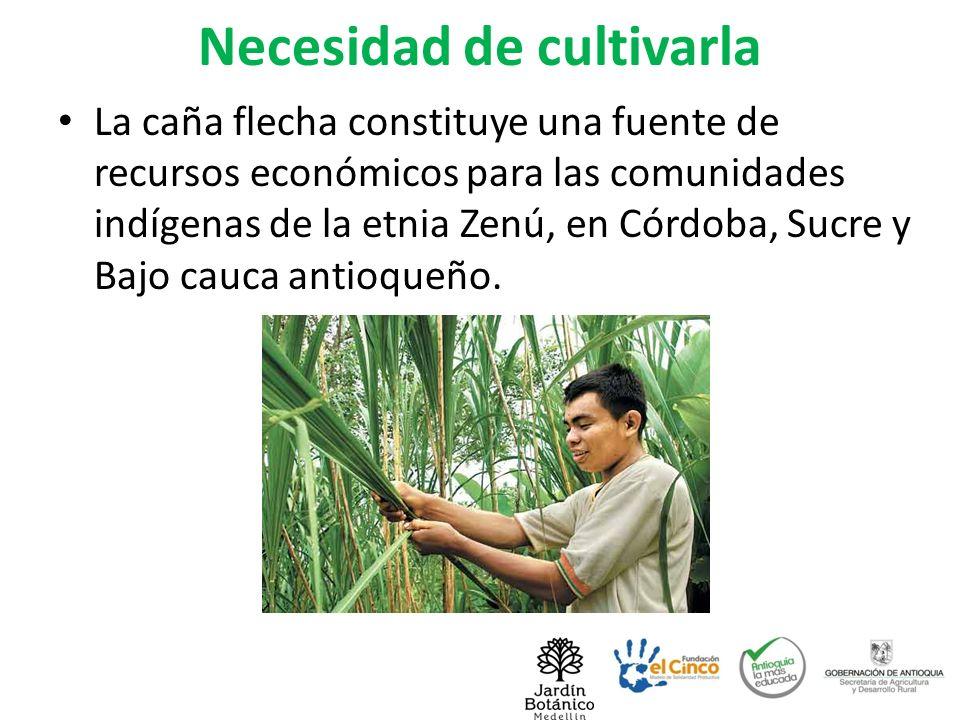 Necesidad de cultivarla La caña flecha constituye una fuente de recursos económicos para las comunidades indígenas de la etnia Zenú, en Córdoba, Sucre