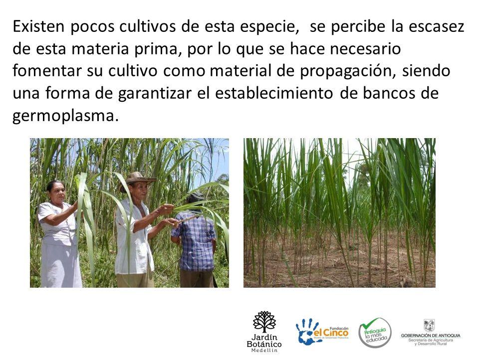 Existen pocos cultivos de esta especie, se percibe la escasez de esta materia prima, por lo que se hace necesario fomentar su cultivo como material de