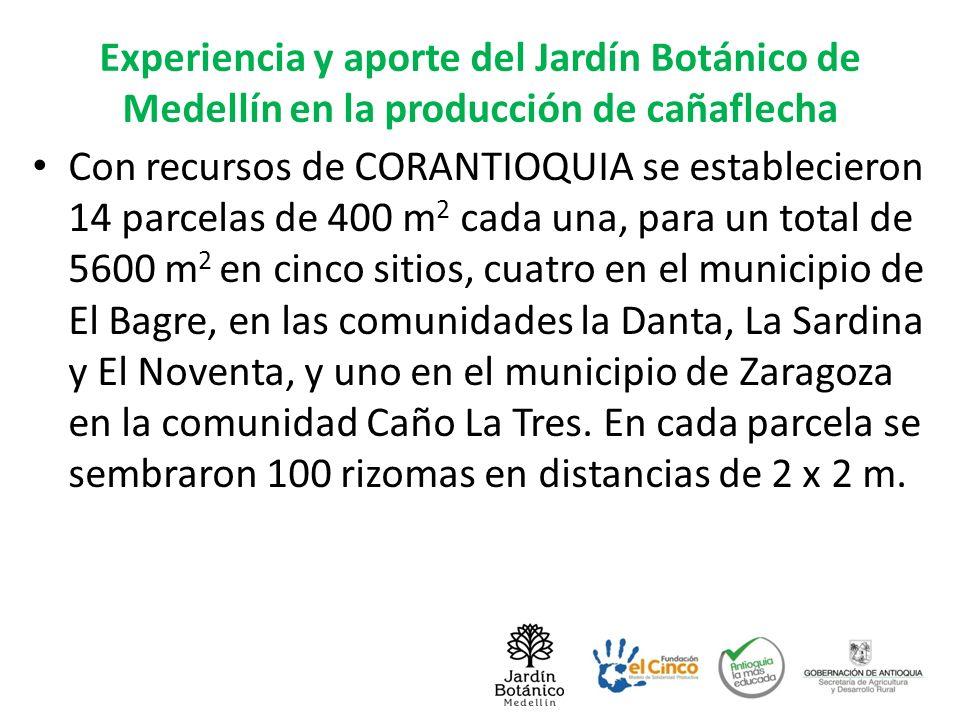 Experiencia y aporte del Jardín Botánico de Medellín en la producción de cañaflecha Con recursos de CORANTIOQUIA se establecieron 14 parcelas de 400 m