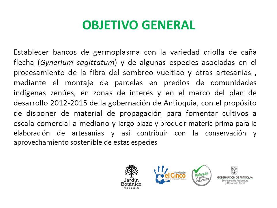 OBJETIVOS ESPECÍFICOS Establecer parcelas, tres hectáreas por municipio, en Zaragoza, El Bagre y Necoclí, de la variedad criolla de caña flecha.