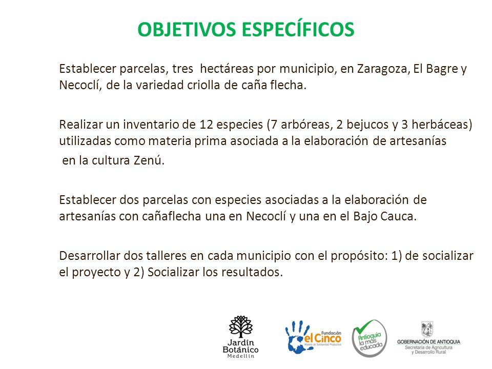 OBJETIVOS ESPECÍFICOS Establecer parcelas, tres hectáreas por municipio, en Zaragoza, El Bagre y Necoclí, de la variedad criolla de caña flecha. Reali