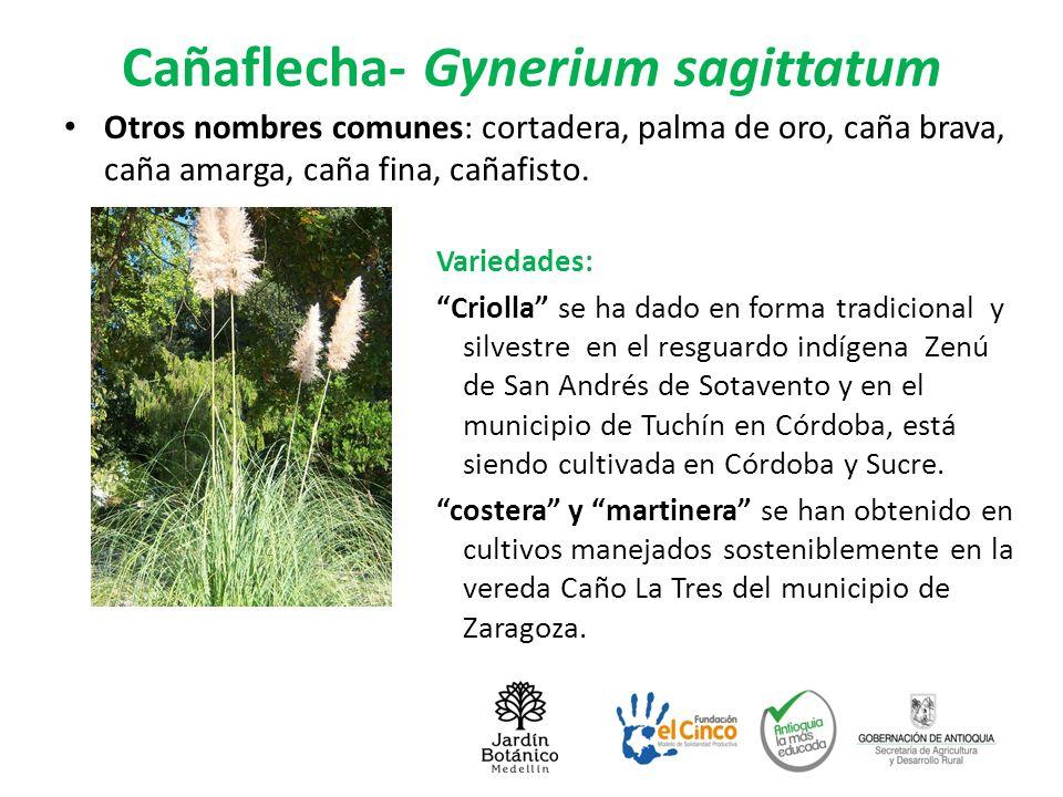 Cañaflecha- Gynerium sagittatum Otros nombres comunes: cortadera, palma de oro, caña brava, caña amarga, caña fina, cañafisto. Variedades: Criolla se