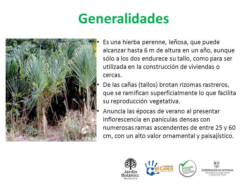 Usos, toda la planta es utilizable Sus hojas son el forraje preferido del (Trichechus manatus) manatí o pejebuey.