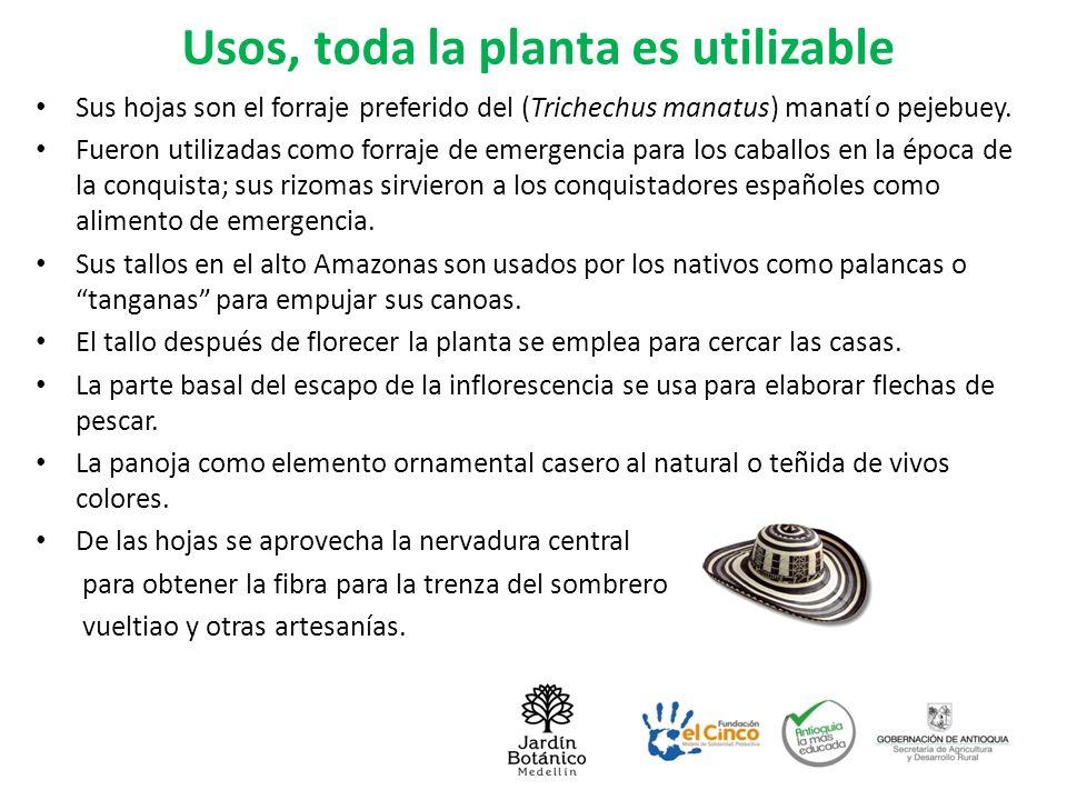 Necesidad de cultivarla La caña flecha constituye una fuente de recursos económicos para las comunidades indígenas de la etnia Zenú, en Córdoba, Sucre y Bajo cauca antioqueño.