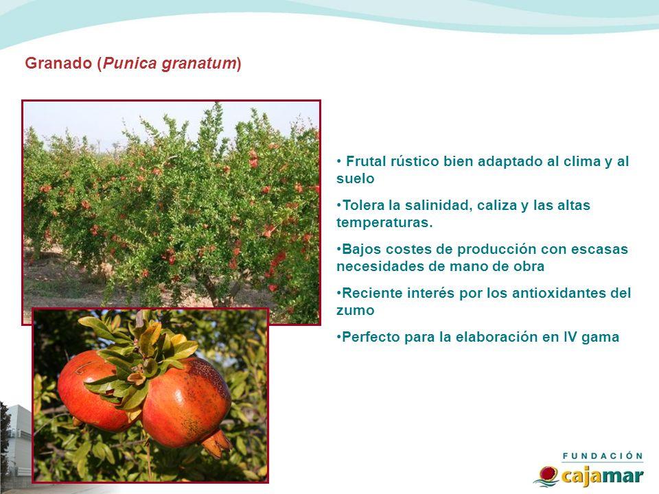 Granado (Punica granatum) Frutal rústico bien adaptado al clima y al suelo Tolera la salinidad, caliza y las altas temperaturas. Bajos costes de produ
